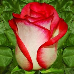 WHITE ROSE WITH RED TIPS | ROSES BEAUTIFUL ROSES | Pinterest