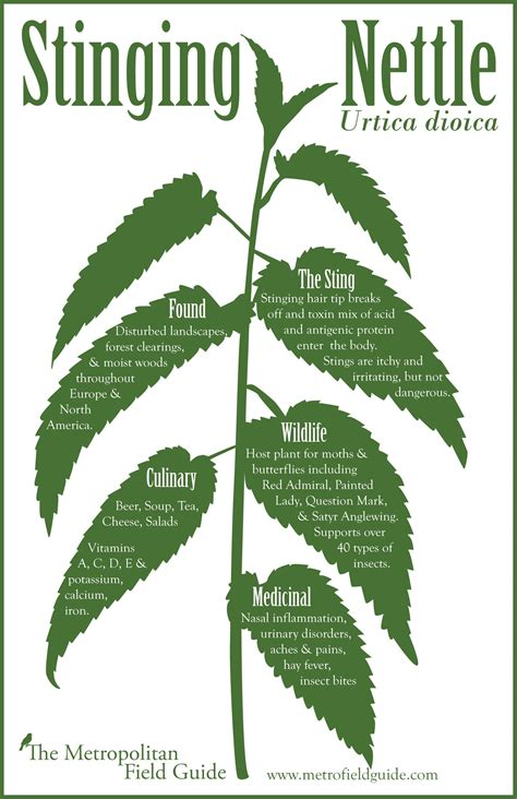 Stinging Nettle Homesteading Pinterest Herbs