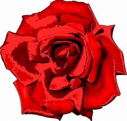 Rosa Flores Gifs Vermelha Flor Animado Transparent