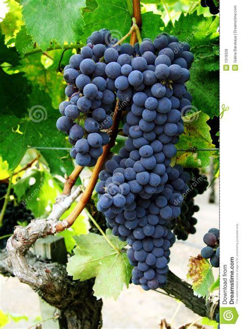grape cluster   vine stock photo image  vine