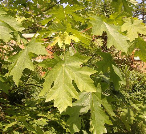 maple leaf acer macrophyllum