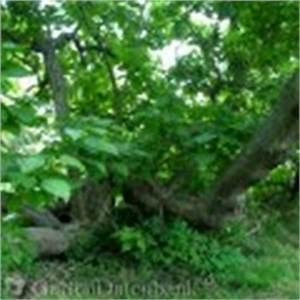 Catalpa Bignonioides Nana Pflege : trompetenbaum katalpa zigarrenbaum bohnenbaum catalpa ~ Lizthompson.info Haus und Dekorationen