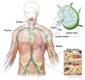 Lymph system; drawing shows the lymph vessels and lymph organs ...  Immune System Lymph Nodes