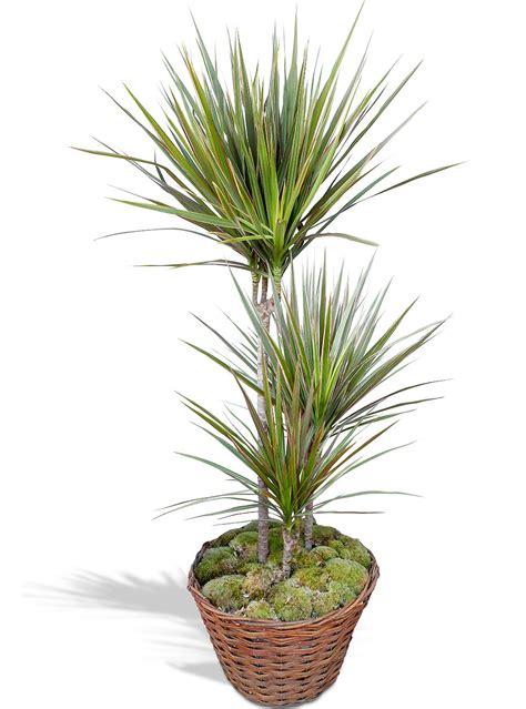 plante verte interieur depolluante plante verte d 233 polluante dracaena en pot