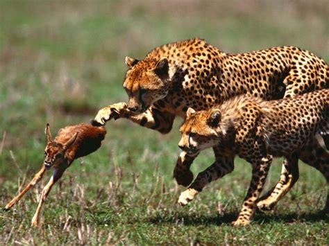 Safari Animal Wallpaper - animals wallpaper wallpapersafari