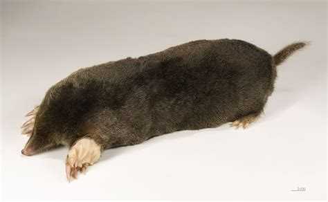 Mole (animal) Wikipedia