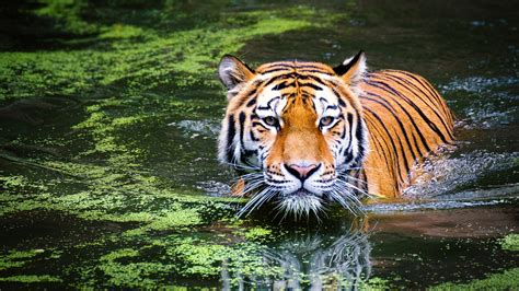 Animal Zoo Wallpaper - tiger in zoo wallpapers hd wallpapers id 21060