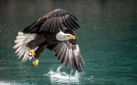 bird bald eagle fantastic catch hunting  flight winter