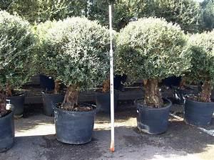 Winterharte Kübelpflanzen Hochstamm : mediterrane pflanzen kaufen mittelmeerpflanzen orangenbaum ~ Michelbontemps.com Haus und Dekorationen