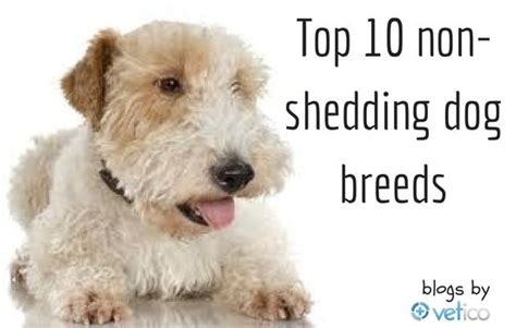 active breeds that dont shed 28 active breeds that dont shed cafechoo image