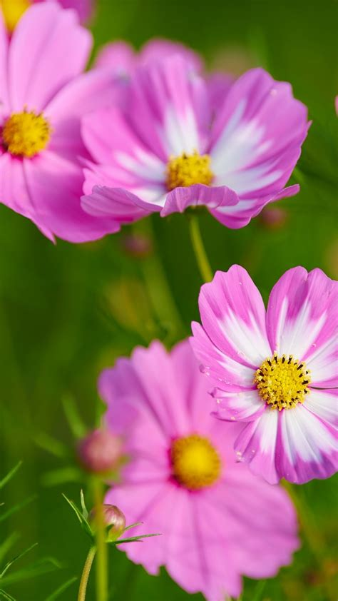 wallpaper cosmos flowers pink cosmos beautiful