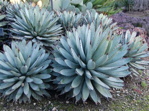 agave photos agave macroacantha black spined agave world of succulents