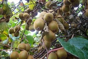 Tailler Les Kiwis : arbres fruitiers de votre sp cialiste du jardin en charente maritime ~ Farleysfitness.com Idées de Décoration