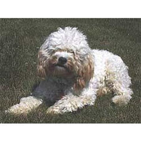 cockapoo information dog breeds at thepetowners