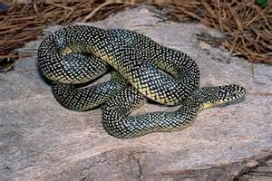 King Snakes Black with White Spots