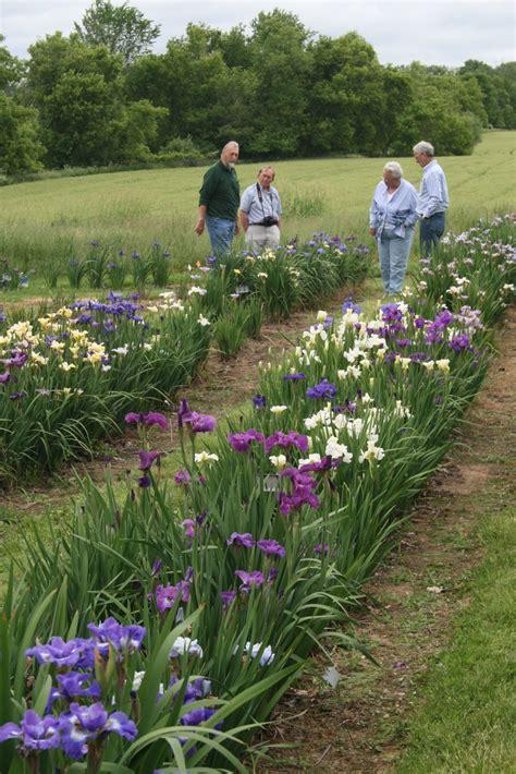 how to grow an iris world of irises growing siberian irises