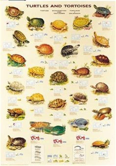 turtles tortoises terrapin schildkroeten pinterest