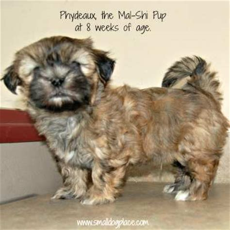 Hypoallergenic Non Shedding Dog Breeds by Shih Tzu And Maltese Designer Dog