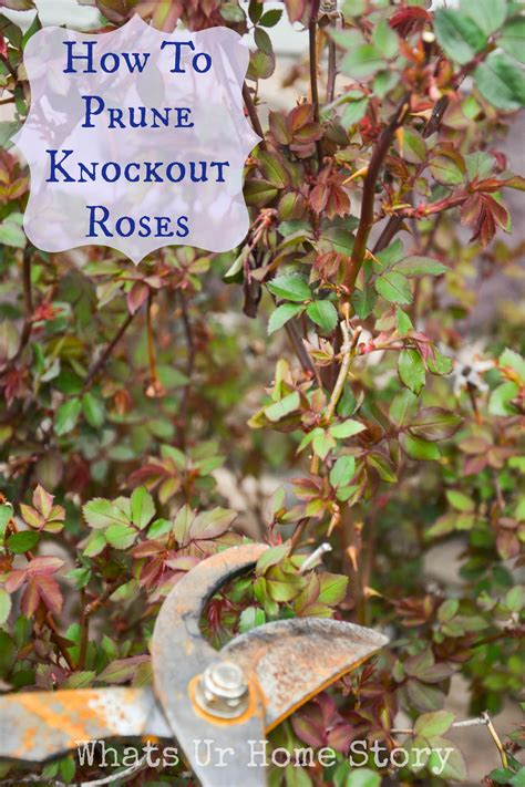 pruning roses pruning knockout roses whats ur home story