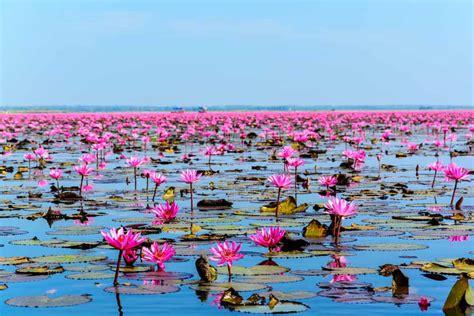 types  lotus flowers