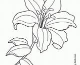 Flower Coloring Pages Lily Line Tiger Drawing Printable Lilies Flowers Water Exotic Getdrawings Getcolorings Ideal sketch template