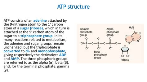 The Structure And Function Of Atp The Formation Of Atp In