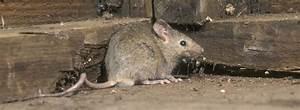 Mäuse Bekämpfen Haus : hausmaus co was gegen m use im haus hilft rentokil ~ Michelbontemps.com Haus und Dekorationen