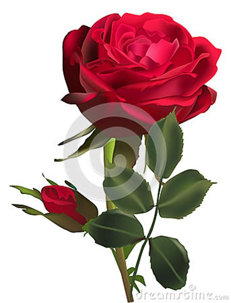 flower and one bud isolated on white royalty free stock photography 35403497