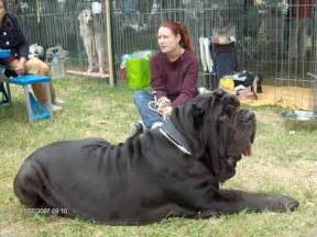 Alaskan King Bed For Sale by The World S Best Photos Of Really Big Dogs