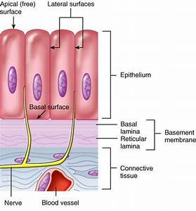 Man U0026 39 S Physique  Characteristics Of Epithelial Tissue