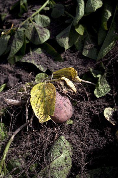 cuisiner les pommes de terre de noirmoutier primeurs de noirmoutier comment invente t on une nouvelle