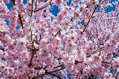 Free stock photo of branch bud cherry blossom