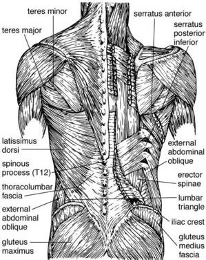 Learn about anatomy upper back muscles with free interactive flashcards. Fitness and Injury Recovery for Graceful Movement: Upper ...