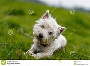 Kleiner Weißer Couchtisch : kleiner wei er hund der seinen kopf kippt ~ Markanthonyermac.com Haus und Dekorationen