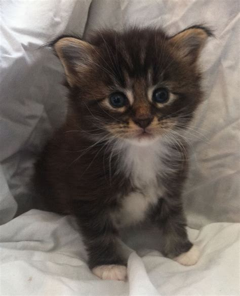 kitten for sale pedigree maine coon kittens for sale ulverston