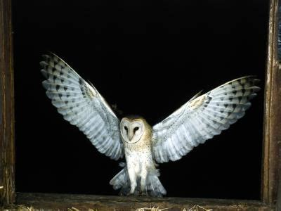 Do Barn Owls Eat Cats by What Do Barn Owls Usually Eat Animals Me