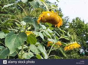 Wilted And Drooping Sunflower Plants Stock Photo  Royalty