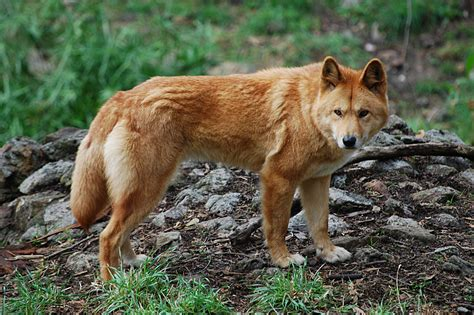 Filecanis Lupus Dingo Cleland Wildlife Park Jpg