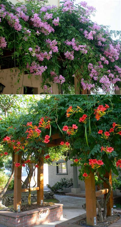 Garden Arbor Plants by 20 Favorite Flowering Vines For The Fence And Arbor