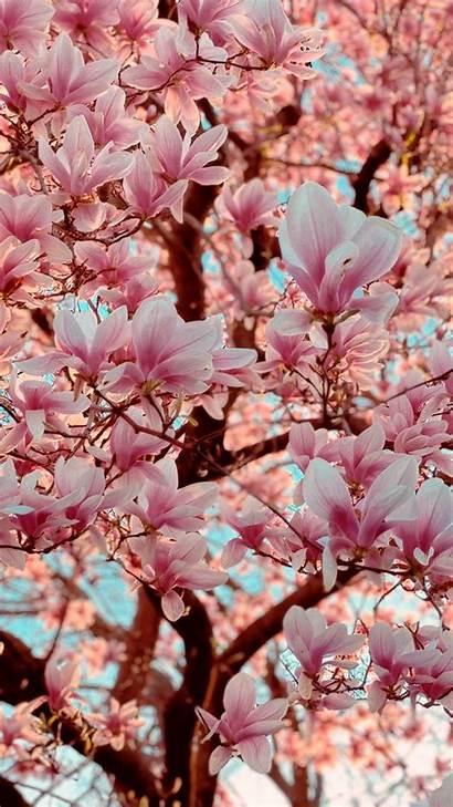 Magnolia Tree Plants Trees Phone Lockscreen