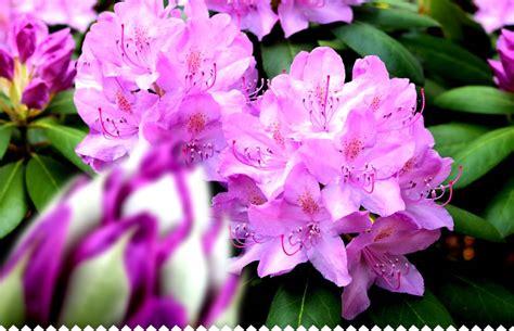 rhododendron en pot en hiver rhododendron planter entretenir tailler avec jaime jardiner
