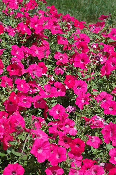 tidal wave petunias tidal wave hot pink petunia petunia tidal wave hot pink in minneapolis st paul twin cities