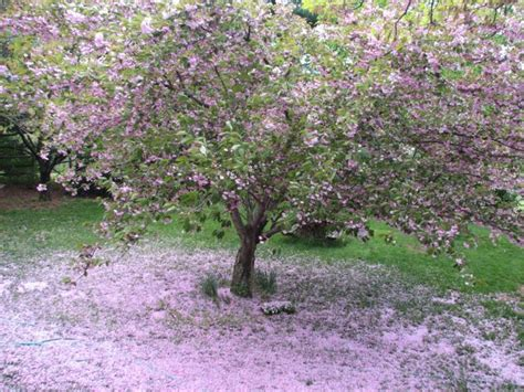 flowering cherry tree problems gallery for gt kwanzan flowering cherry tree problems