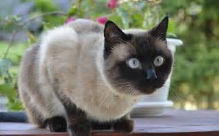 names for siamese cats 10 best siamese cat names