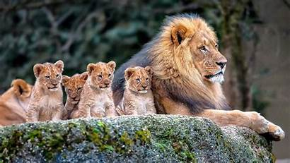 Lion Background Resolution Widescreen Wallpapers13
