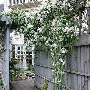 Immergrüne Kletterpflanze Winterhart : immergr ne hecke ohne efeu online kaufen ~ Yasmunasinghe.com Haus und Dekorationen