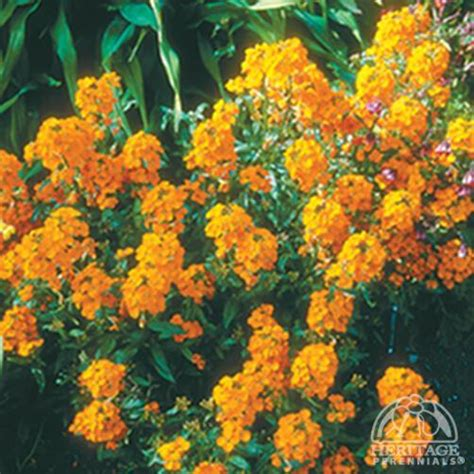 orange erysimum bedder wallflower siberian perennials perennial flowers flower plants wallflowers plant cut cutting cuttings