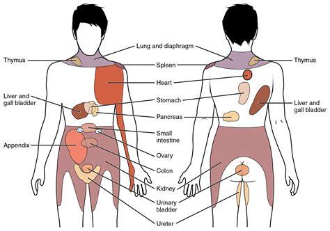 Liver Pain Location Diagram Anatomy Organ