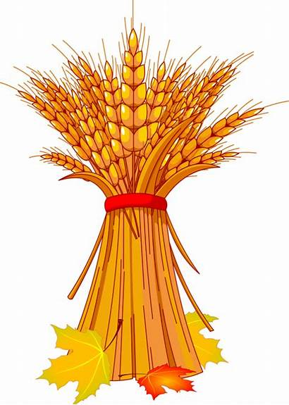Wheat Harvest Clipart Grain Thanksgiving Flowers Clipground