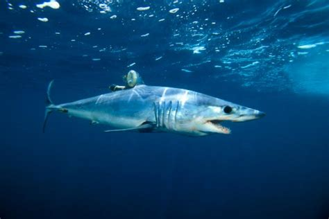 Mako Shark Jumps In Boat by Shark Jumps Onto Boat Island Gets Trapped